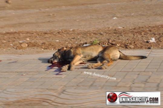 حذاري يامسؤولينا ببني انصار من عملية قتل الكلاب الضالة رميا بالرصاص / فيديو