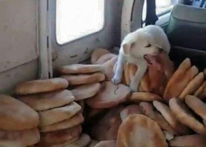 كلب صغير يقفز فوق الخبز، وسط سيارة مخصصة لتوزيعه/ فيديو