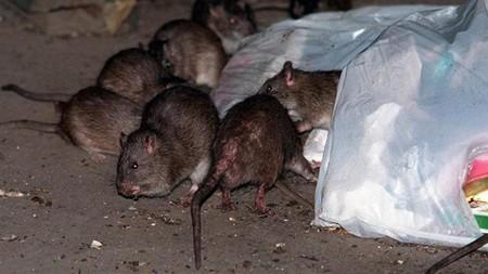 طرق التخلص من الفئران او الجرذان نهائيا