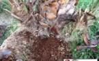 نداء لمسؤولي مدينة بني انصار من أجل حماية أشجار النخيل من الإصابة بداء السوسة