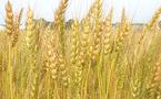 مخزنات القمح في المغرب تكفي 3 أشهر