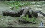 ثعبان ينتقم من التمساح الذي يلتهم اطفاله ويأكله حيا