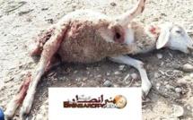 مهاجمة كلاب حراسة السواحل  لقطيع من الماشية بجزيرة المهندس بالناظور